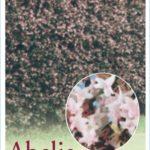 Abelia_0020_X_0020_Grandiflora
