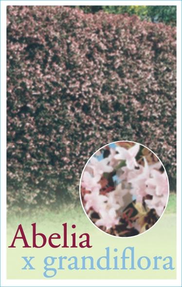 Abelia_0020_X_0020_Grandiflora1