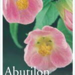 Abutilon Pink Lady