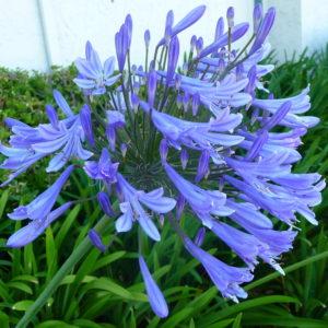 Agapanthus_Blue