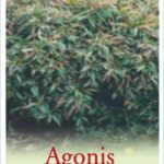 Agonis_Nana