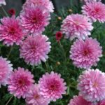 Argyranthemum-Fed-Daisy-Sunday Best