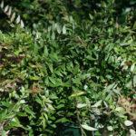 Austromyrtus_0020_dulcis_0020_Bush_0020_Snacks