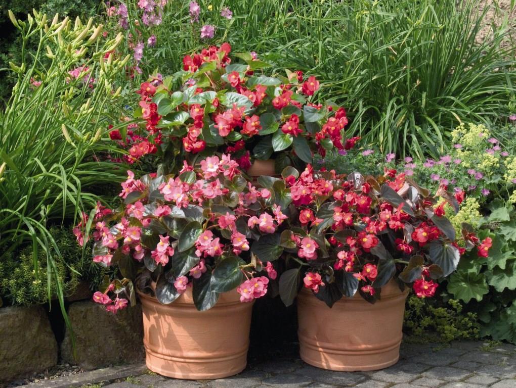 begonia big mix 150mm pot dawsons garden world