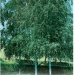 Betula_0020_pendula_0020_birch