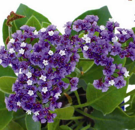 Limonium Perezii Blue Common Name Statice 175mm Pot