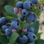 Blueberries_0020_1