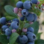 Blueberries_0020_1