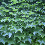 Boston_0020_Ivy