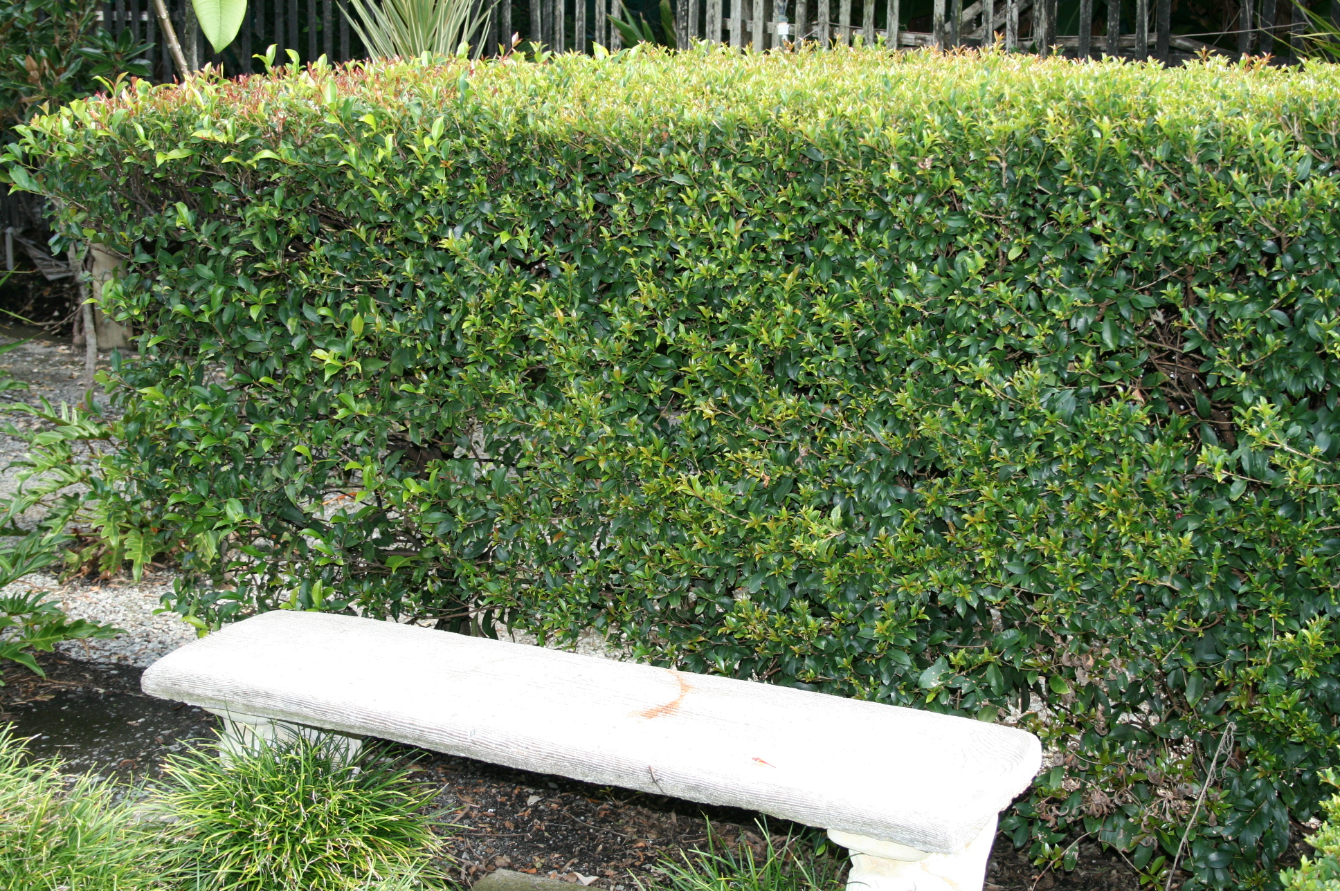 Syzygium Australe Bush Christmas Common Name Hedging Lilly Pilly 175mm Pot