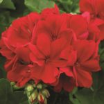 Big Red Geranium
