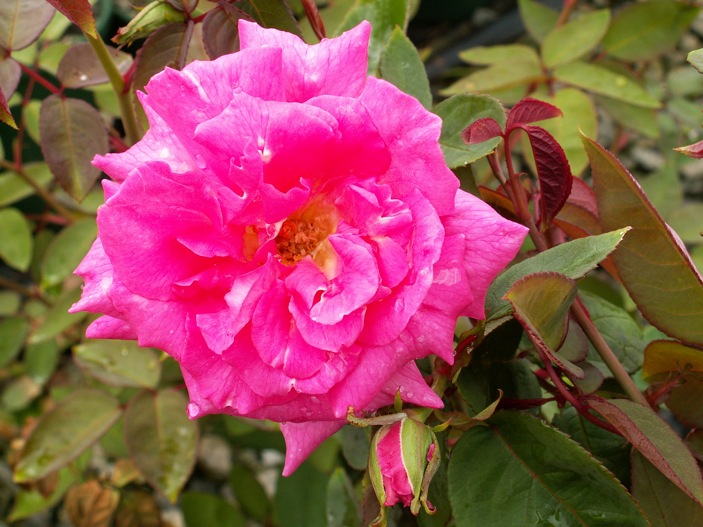 climbing rose zephirine drouhin 175mm pot dawsons garden. Black Bedroom Furniture Sets. Home Design Ideas