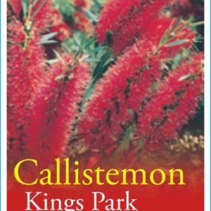 Callistemon_0020_Kings_0020_Park_0020_Special