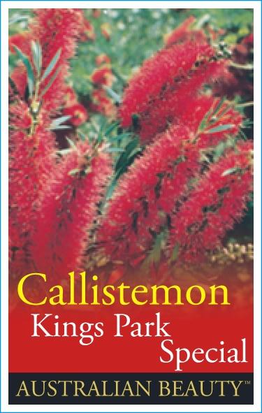 Callistemon Kings Park Special Common Name Bottlebrush