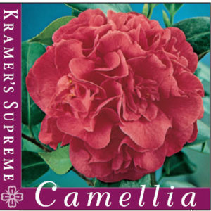 Camellia_0020_Kramers_0020_supreme