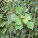 Chinese_0020_Tallow_0020_Tree