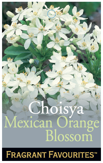 Choisya_0020_Mexican_0020_Orange_0020_Blossom