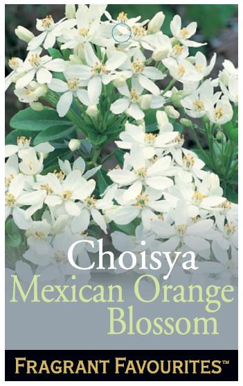 Choisya_0020_Mexican_0020_Orange_0020_Blossom