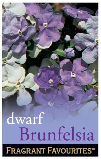 Dwarf_0020_Brunfelsia