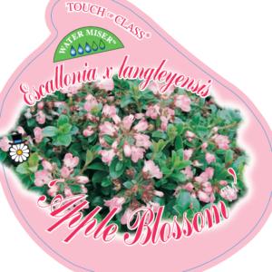 Escallonia_0020_langleyensis_0020_apple_0020_blossom