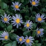 FELICIA_0020_PINWHEEL_0020_PERIWINKLE_0020_BLUE