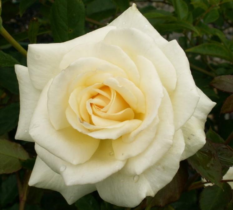 Hedging Rose Floribunda Bernina 175mm Pot Dawsons