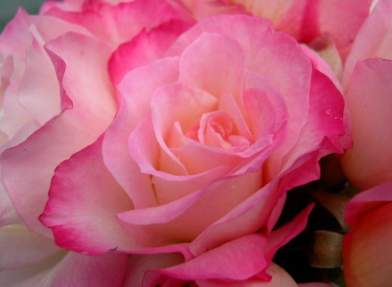 Hedging Rose Floribunda Bold Seduction 175mm Pot