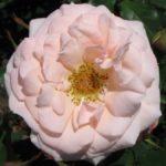 Bridal_Pink