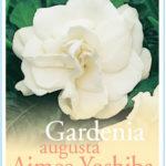 Gardenia_0020_Aimee_0020_yoshiba