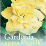 Gardenia_0020_golden_0020_magic