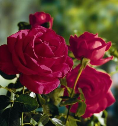 Long Stemmed Rose Hybrid Tea Good Samaritan 175mm Pot Dawsons