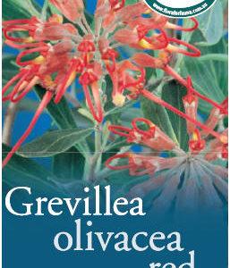 Grevillea_0020_olivace_0020_red