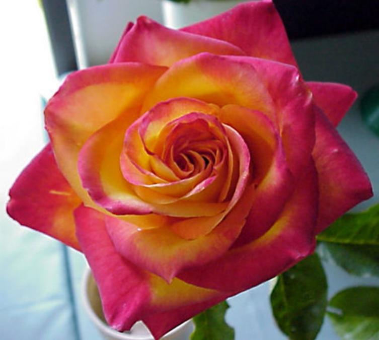 Standard Rose Perfect Moment Height Medium 250mm Pot