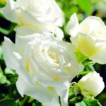 Long stemmed roses (Hybrid Tea)