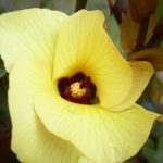 Hibiscus_0020_Cottonwood_0020_flower