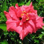 Hibiscus_0020_Island_0020_Empress