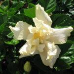 Hibiscus_0020_White_0020_Kalakua_m