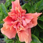Hibiscus_0020_dj_0020_obrien