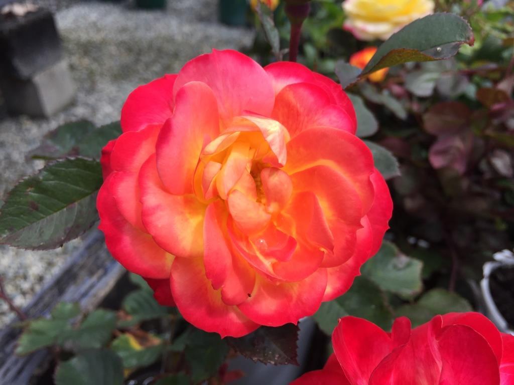 Miniature rose chameleon rose 150mm pot dawsons garden world - Rosier miniature exterieur ...