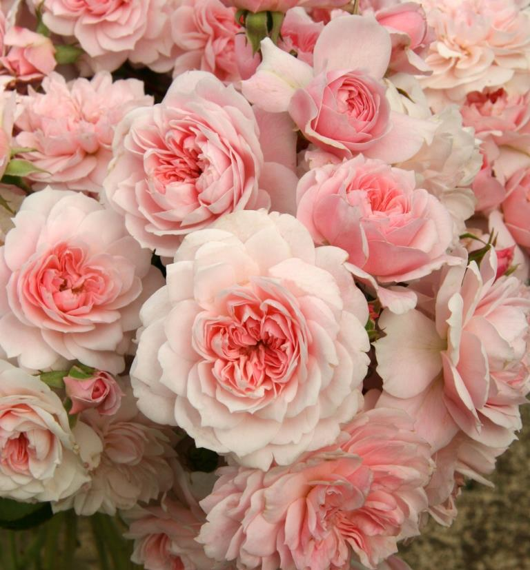 Hedging Rose Floribunda Jane McGrath 175mm Pot