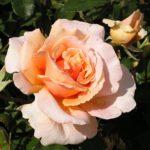Standard rose Just Joey (Height-Medium) 250mm Pot
