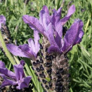 Lavender_0020_avonview