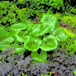 Ligularia Designer Verde