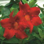 Mandevilla_0020_Aloha_0020_Red