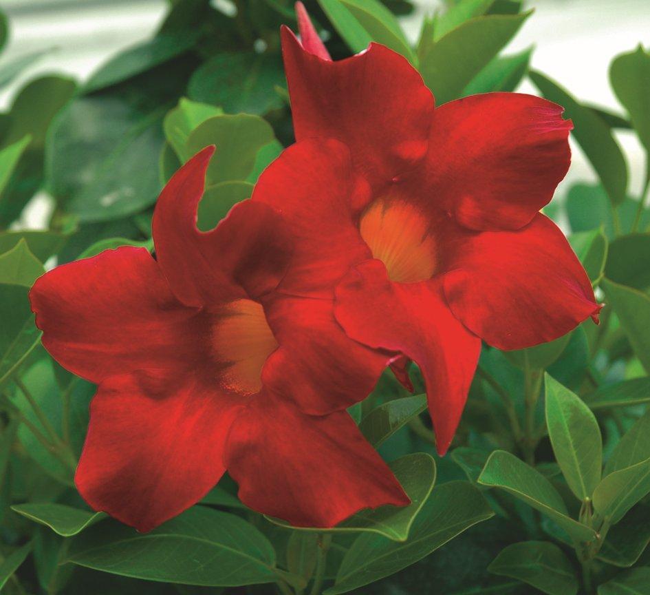 Mandevilla_0020_Aloha_0020_Red1