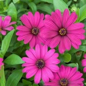 Osteospermum Tradewinds, Deep Purple, Cluster