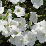 Petunia_White
