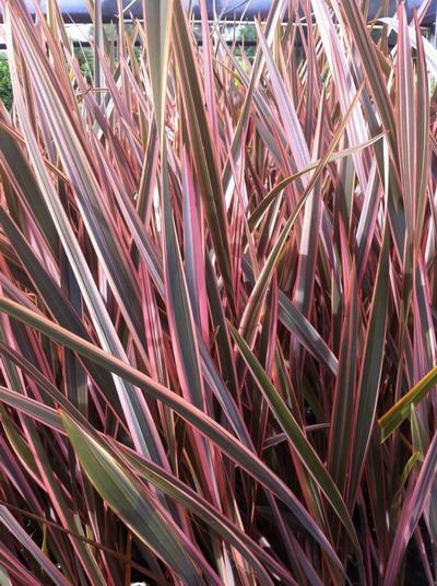 phormium rainbow queen common name tricolour flax. Black Bedroom Furniture Sets. Home Design Ideas
