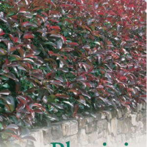 Photinia Red Robin 175mm Pot Dawsons Garden World