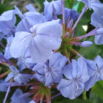 Plumbago_0020_Royal_0020_Cape_0020_1